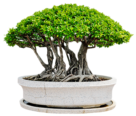 Bonsai de jardin